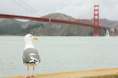 Seagull standing with Golden Gate bridge in background. royalty free stock image