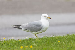 Seagull standing in grass Stock Photo