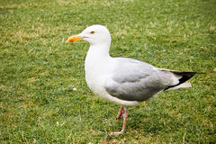 Seagull standing on the grass in a park Stock Photo