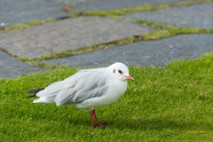 Seagull standing in green summer grass Royalty Free Stock Photography