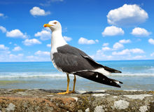 Seagull standing on his feet. Royalty Free Stock Photography