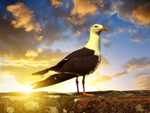 Seagull standing on his feet Royalty Free Stock Image