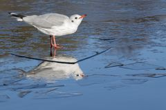 A seagull standing on the ice : Southampton Common Stock Photos