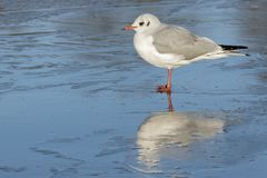 A seagull standing on the ice : Southampton Common stock photography