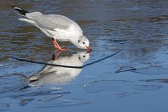 A seagull standing on the ice drinking: Southampton Common royalty free stock photography