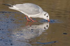 A seagull standing on the ice drinking: Southampton Common Royalty Free Stock Image
