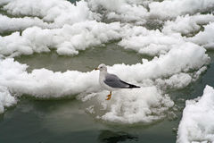 Seagull Standing on ice Royalty Free Stock Photography