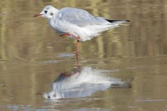 A seagull standing on the ice on the Ornamental Pond Southampton Common. A seagull standing on the ice on the Ornamental Pond on Southampton Common, Hampshire Royalty Free Stock Photos