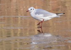 A seagull standing on the ice on the Ornamental Pond Southampton Common. A seagull standing on the ice on the Ornamental Pond on Southampton Common, Hampshire Stock Image