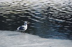 Seagull standing on ice. On the water stock images