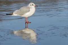 A seagull standing on the ice : Southampton Common royalty free stock images