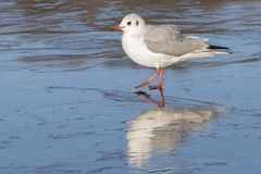 A seagull standing on the ice : Southampton Common stock photo