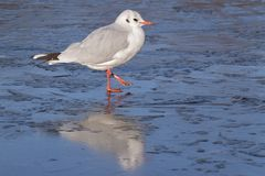 A seagull standing on the ice : Southampton Common royalty free stock image