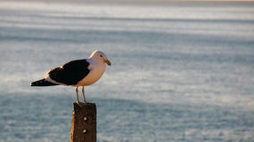 Seagull standing ion a post Royalty Free Stock Photo