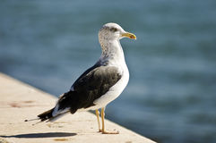 Seagull standing on a ledge. A lone seagull stands on a concrete ledge, looking out to sea Royalty Free Stock Photo