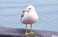 Seagull standing. On ledge overlooking the blue ocean Stock Image