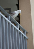 Seagull standing and looking down at balcony hotel Royalty Free Stock Images
