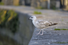 Seagull standing and looking down. Claddagh , Glaway bay Royalty Free Stock Photos