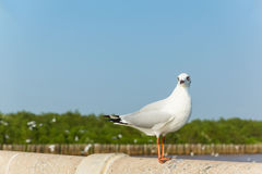 Seagull. Standing and Mangrove forest Stock Photos