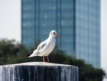 Seagull standing on the marina stump Stock Photos