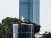 Seagull standing on the marina stump Royalty Free Stock Photography