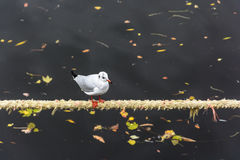 Seagull standing on marine rope Royalty Free Stock Images