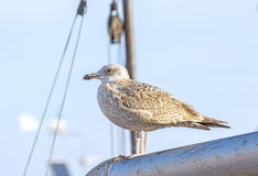 Seagull standing on a mast in the harbor Royalty Free Stock Photo