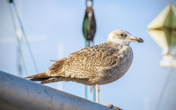 Seagull standing on a mast in the harbor Stock Photo
