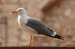 Seagull standing. A mediterranean seagull standing on ground, in the spanish island of mallorca stock photography