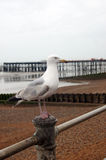Seagull standing on metal bar Royalty Free Stock Images