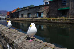 Seagull standing near otaru canal Stock Photo