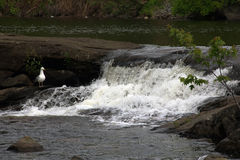Seagull standing near the rapids Royalty Free Stock Image