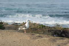 Seagull by the Seashore Royalty Free Stock Photography