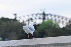 Seagull standing near Sydney harbour bridge Royalty Free Stock Photo