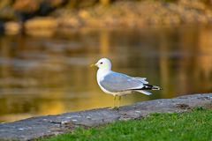 A seagull standing near water in FIlipstad. Sweden april 2019 stock photo