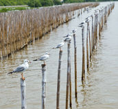 Seagull Standing On Bamboo Wood Royalty Free Stock Photography