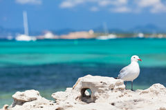 Seagull Standing On The Coastal Rock. Stock Photos