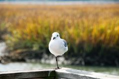 Seagull Standing On One Leg. One white seagull standing on one of its legs on a wooden rail at a boardwalk near a wetland marsh in South Carolina during the royalty free stock image