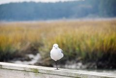 Seagull Standing on One Leg. One white seagull standing on one of its legs on a wooden rail at a boardwalk near a wetland marsh in South Carolina royalty free stock image
