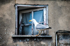 Seagull in window Royalty Free Stock Images
