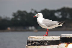Seagull standing on a pier Royalty Free Stock Photo