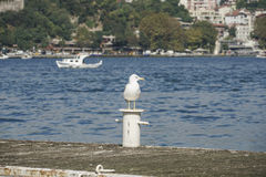 A Seagull standing on a pier Royalty Free Stock Image