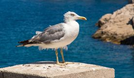 Seagull. A seagull standing on a pillar Royalty Free Stock Photo