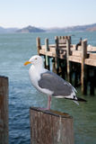 Seagull standing on a pole Royalty Free Stock Photo