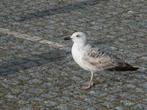 Seagull standing on Portuguese pavement. On a bright sunny day in summer stock photography