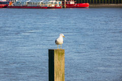 Seagull standing on post on the thames Stock Photo