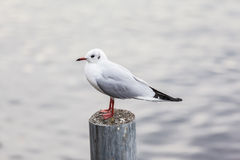 Seagull standing on post Stock Photography