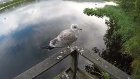 Seagull standing on rail flying away over pond water slow motion