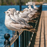 Seagull standing on rail Stock Photography