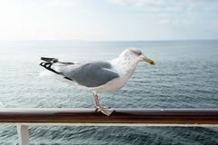 Seagull standing on railing, overcast sky. Seagull standing on the railing of a cruise liner royalty free stock photos